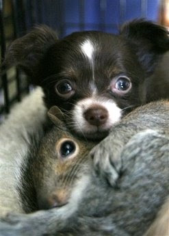 Animals and Pets: chihuahua - squirrels