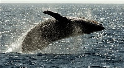 Animals: humpback whale.