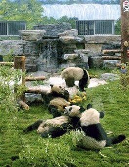 Animals: giant pandas.