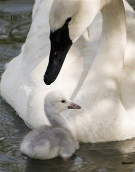 Animals: hatched cygnet.