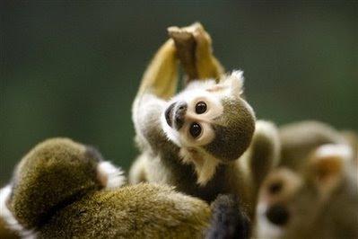 Animals: squirrel monkey.
