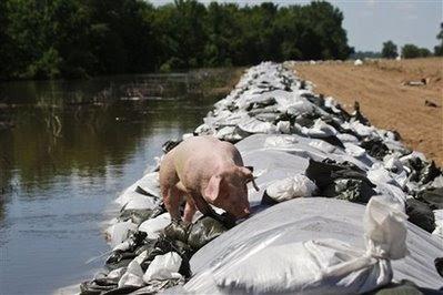 animals: pig.
