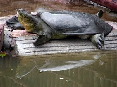 Animal: soft-shell turtle.