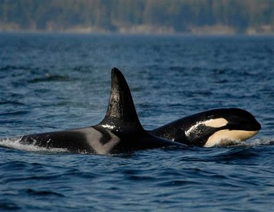 Female orca, or killer whale.