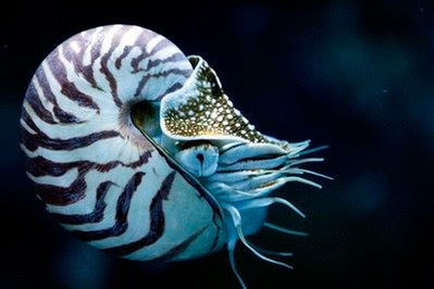 Animal: Nautilus.