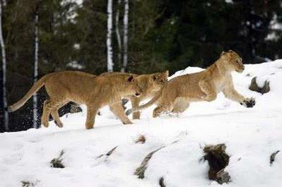 Pets: lions.