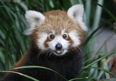 Animals: red panda cub.