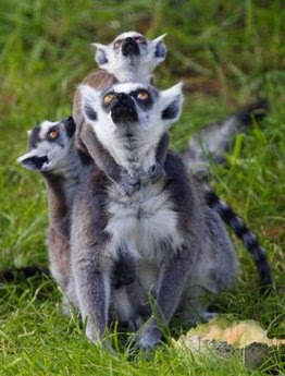 Animal: Ring-tailed Lemur Cattas.