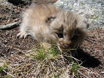 Animal: lynx kitten.