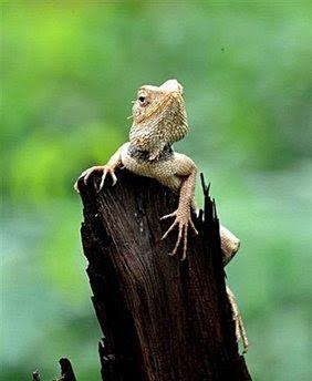 animal: chameleon.