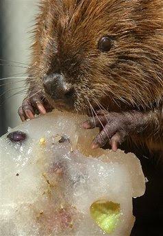 Animal: beaver.