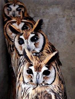 Birds: owls.