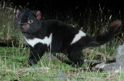 Animal: tasmanian devil.