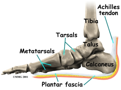 where is the plantar fascia located