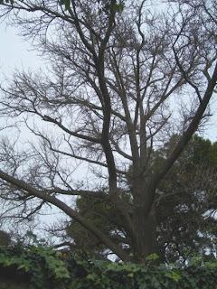 La transparència del gingko en hivern