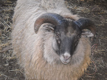 Icelandic Ram