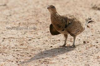 طائر القطا في ولاية النعامة بالجزائر PT-Sandgrouse4