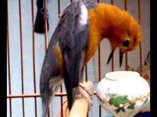 ... dalam kontes burung baik latber maupun latpres suar