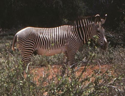 Thin-striped zebra up close at Treetops, Kenya