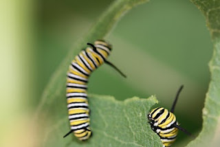 caterpliiars eating milkweed