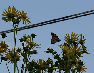 monarch on native cup plant