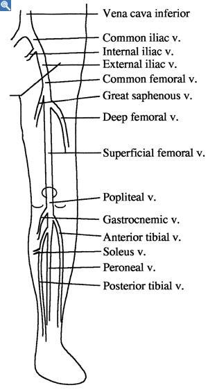 Need To Know Leg Venous Anatomy