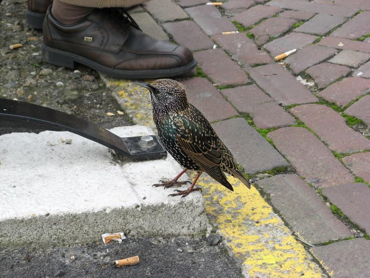 Atrevidos pájaritos en Volendam