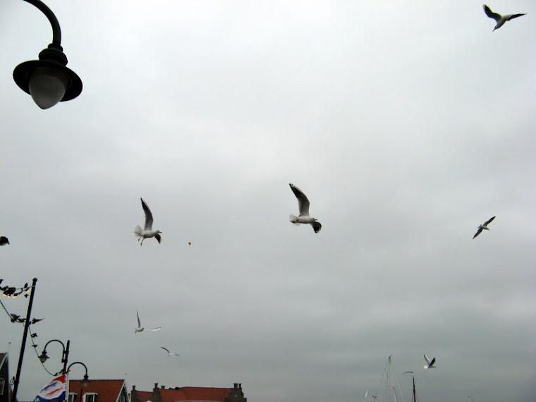 Gaviotas en Volendam