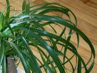 Beaucarnea Recurvata – Ponytail Palm