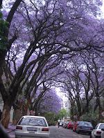 ジャカランダ、南アフリカ
