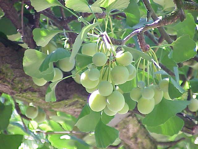 Ginkgo biloba0 5 Jenis Tumbuhan Yang Paling Berkhasiat