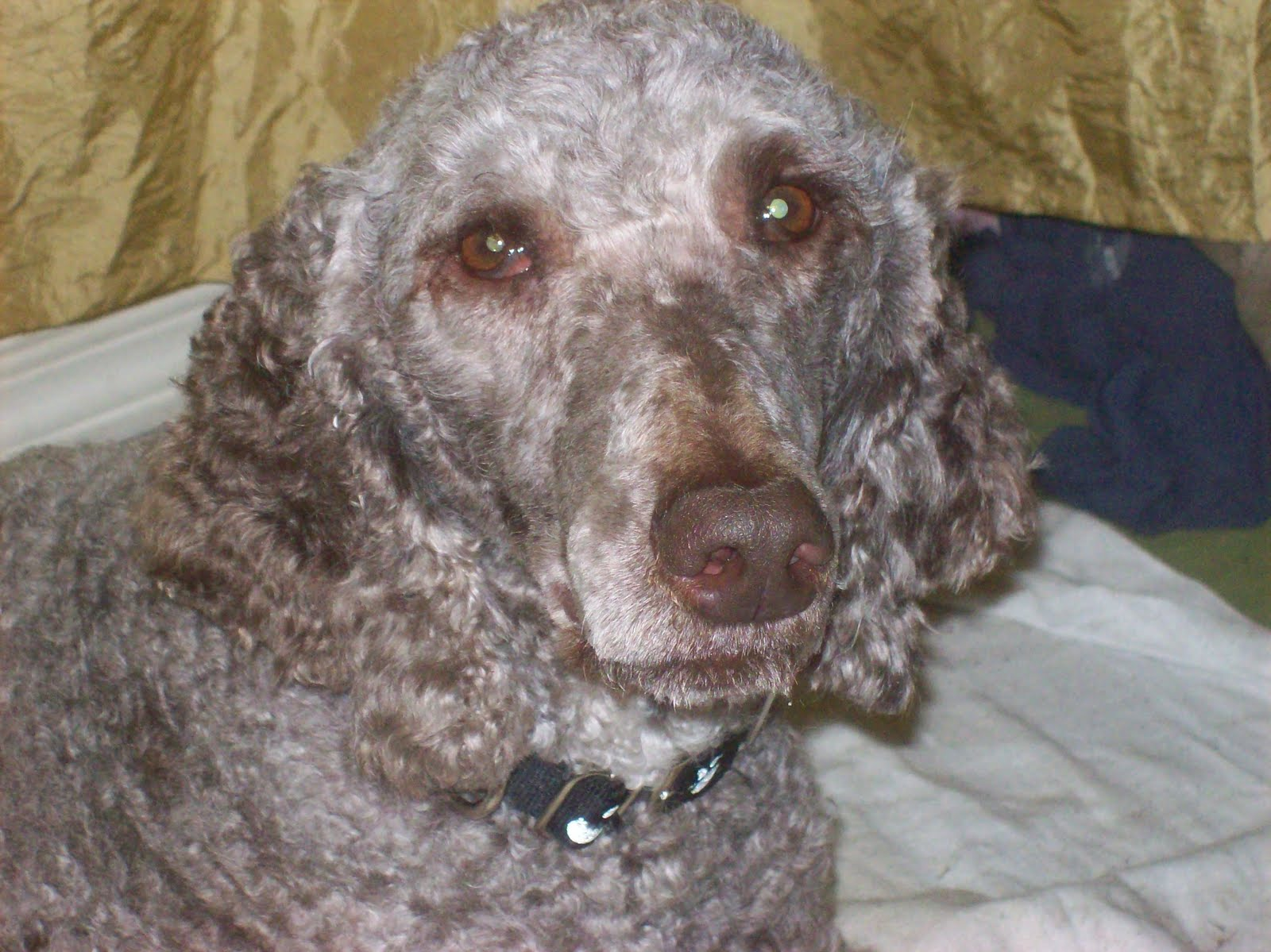 Silver Beige Standard Poodle | ben cher s standard silver ...
