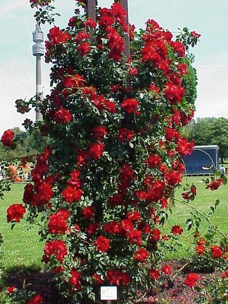 de arbustos espinosos y floridos representantes principales de la