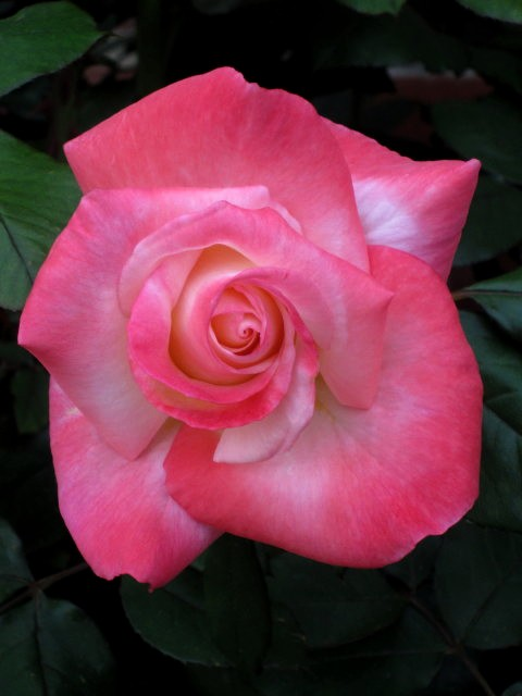 Blooming Rose