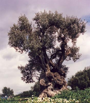 tree identification olea europaea olive. Black Bedroom Furniture Sets. Home Design Ideas