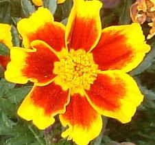 Marigold Circa 2008