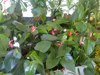anthurium flowers