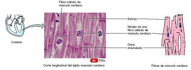 Sistema Múscular