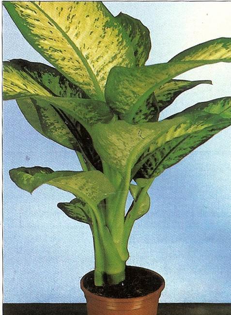 Plantas ornamentales plantas ornamentales for Cuales son las plantas ornamentales