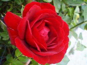 Rosa de Vidrà