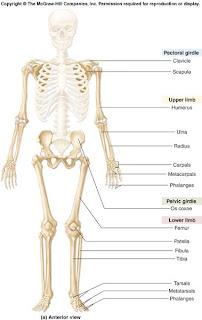 http://1.bp.blogspot.com/_FlhB437Wa_U/SCfS0FwHuoI/AAAAAAAAAhE/DhZuMqQbxHE/s320/f8-1a_appendicular_skel_c.jpg
