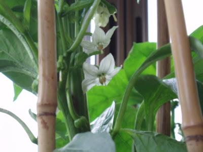 Flores de pimientos