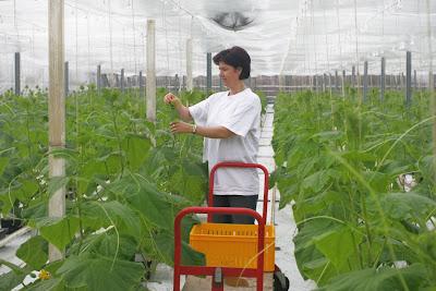 Komkommerkweekster in Mierlo