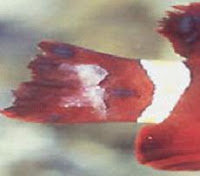 Fin Rot - Goldfish Disease