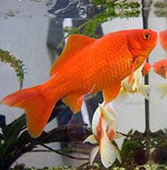Common Goldfish in Aquarium