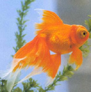 Butterfly Tail Goldfish Pictures
