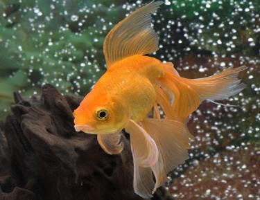 Fantail Goldfish - Goldfish Pictures
