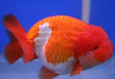 Lionchu - Goldfish Pictures