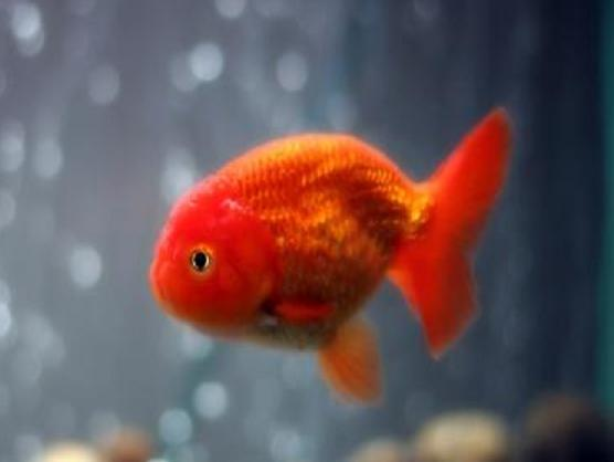 Lionhead Goldfish | www.imgkid.com - The Image Kid Has It!