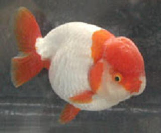 Red and White Ranchu